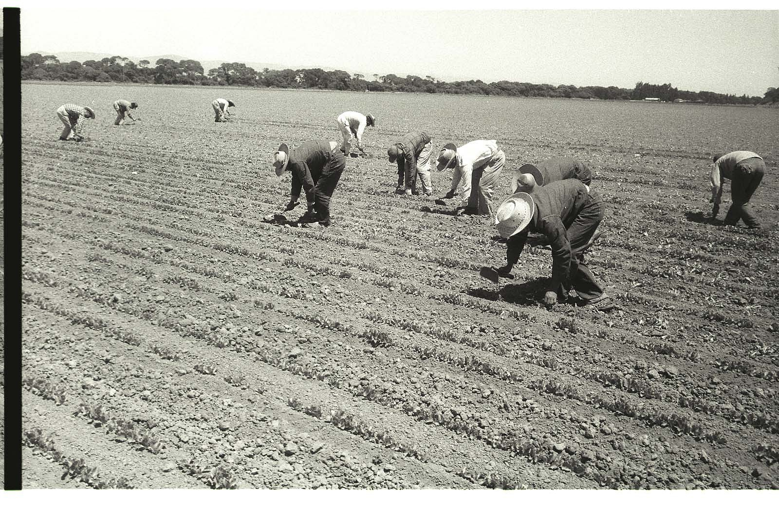 Braceros work in a lettuce field with short-handled hoes in the Salinas Valley, California. Many braceros worked six or more days per week stooped o ver, and some continued with loading and packing jobs after a full day in the field.
