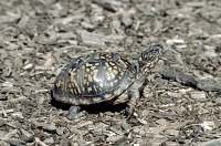 turtle on land with black shell covered with yellow spots