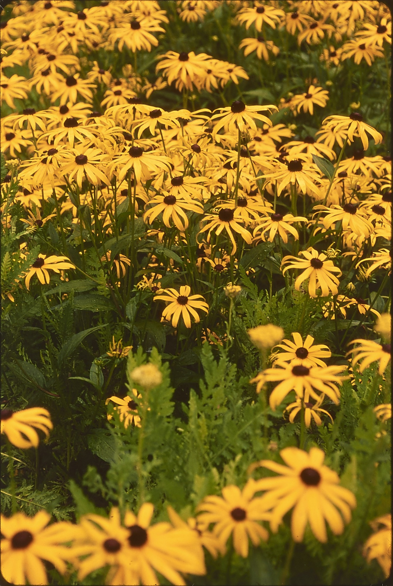 Black-eyed Susan (Rudbeckia), Archives of American Gardens