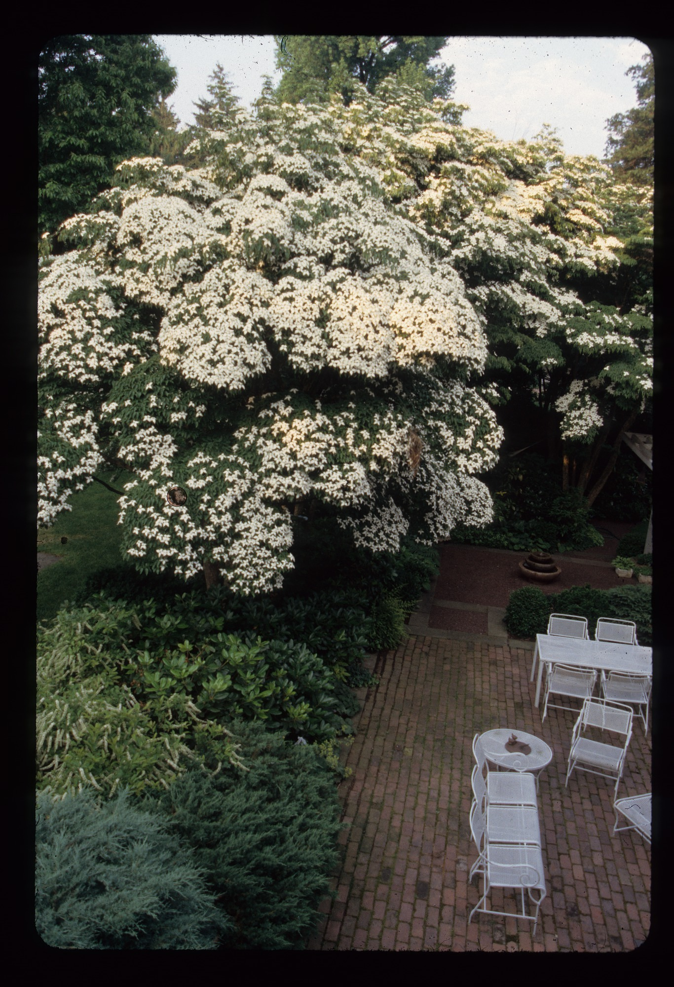 The arboretum introduced many ornamental trees and shrub varieties to American gardeners, such as the Kousa dogwood (Cornus kousa var. chinensis), originally native to Japan, Korea, and China.