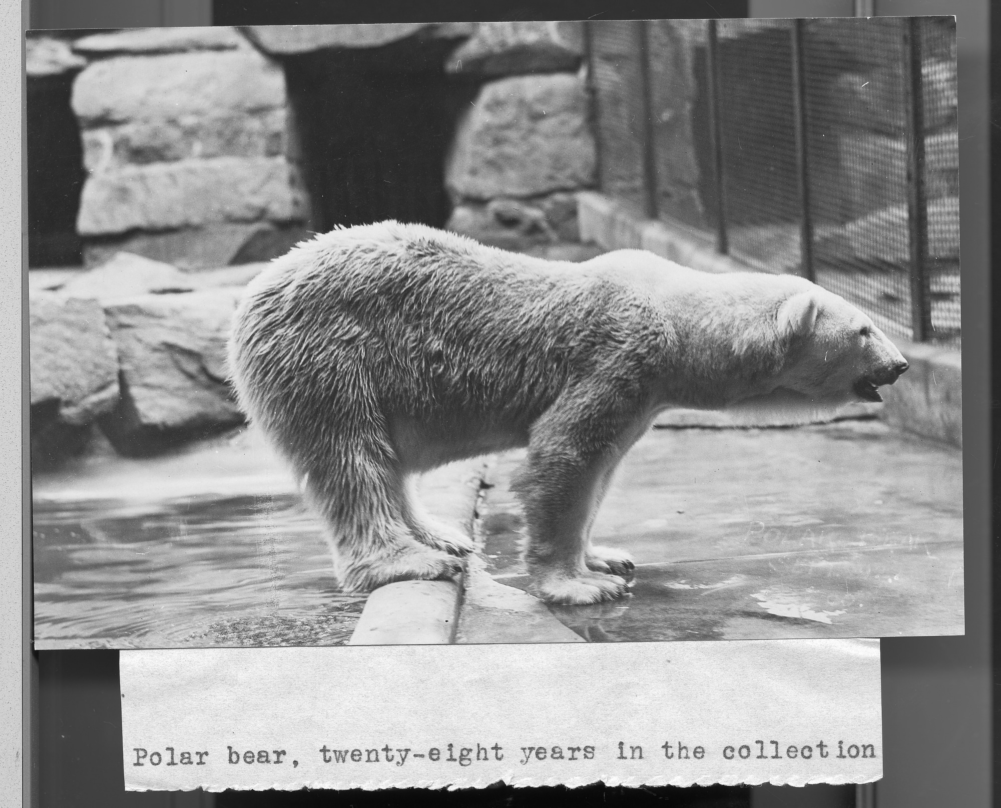 Polar Bear at the National Zoo, by Unknown, Smithsonian Archives - History Div, 2002-10612.