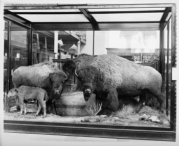Preview of American Buffaloes, Mammal Exhibit, U.S. National Museum Building