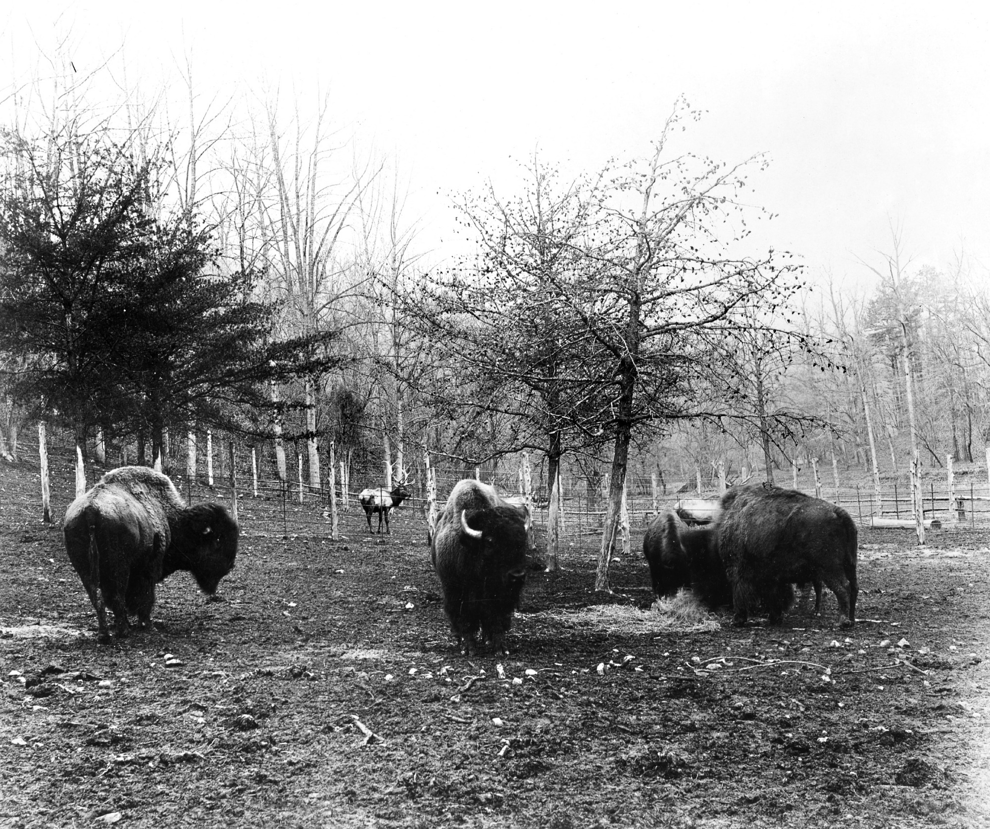 Buffalo at the National Zoological Park, 1890s