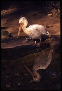 Image of Dalmatian Pelican at National Zoological Park