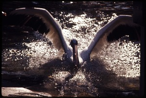 Image of American White Pelican at National Zoological Park