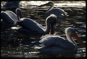 Image of American and Old World Pelicans at National Zoological Park