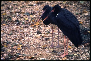 Image of Black Stork at National Zoological Park