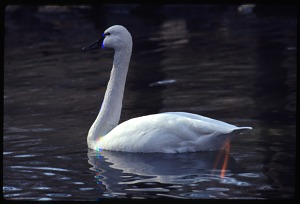 Image of Trumpeter Swan at National Zoological Park