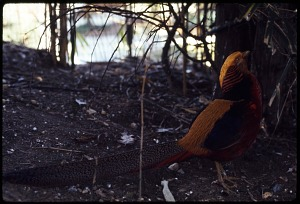 Image of Golden Pheasant at National Zoological Park