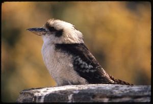 Image of Laughing Kookaburra at National Zoological Park
