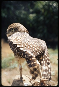 Image of Burrowing Owl at National Zoological Park