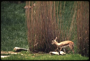 Image of Young Dorcas Gazelle at National Zoological Park