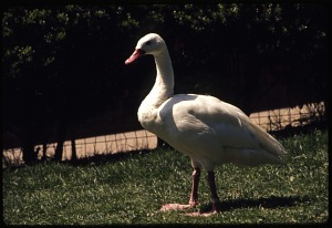 Image of Coscoroba Swan at National Zoological Park