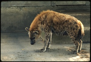 Image of Spotted Hyena at National Zoological Park