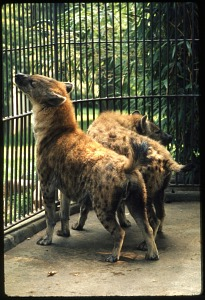 Image of Spotted Hyenas at National Zoological Park