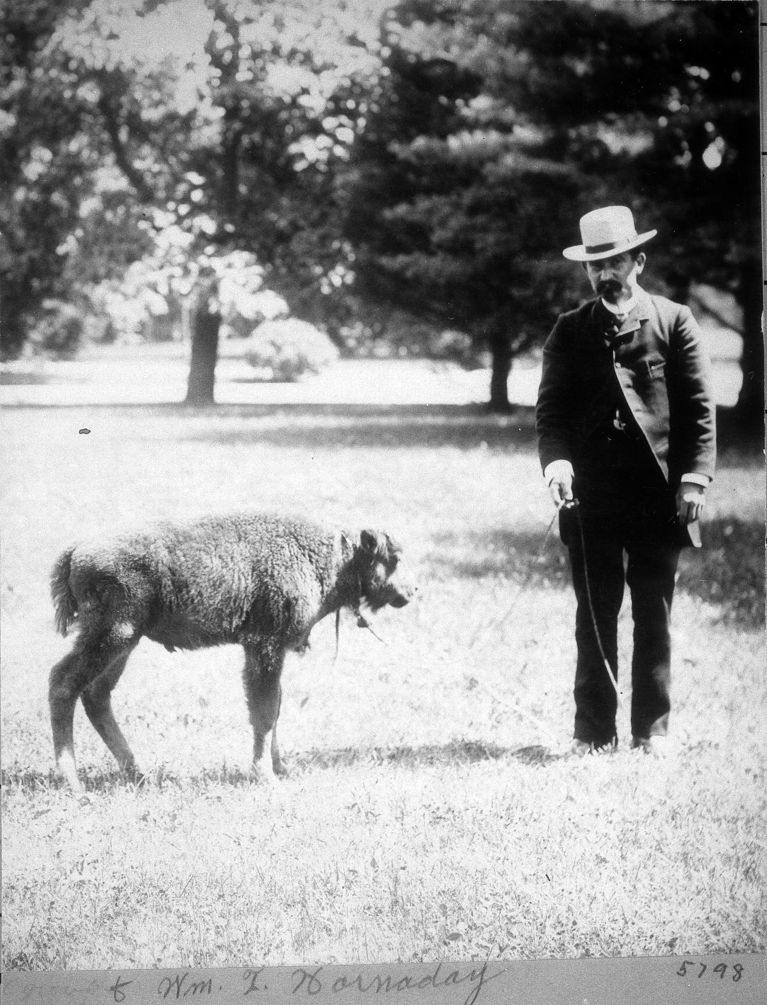 Hornaday with Baby Bison at Smithsonian