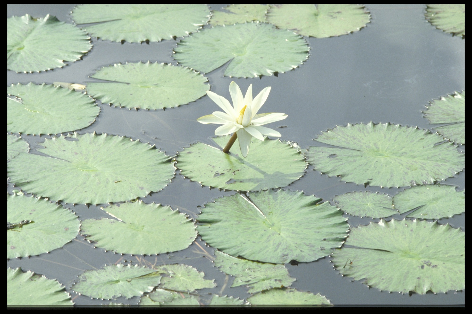Water flower, Panama, STRI, 1990, Smithsonian Institution Archives, SIA Acc. 11-009 [92-1939].