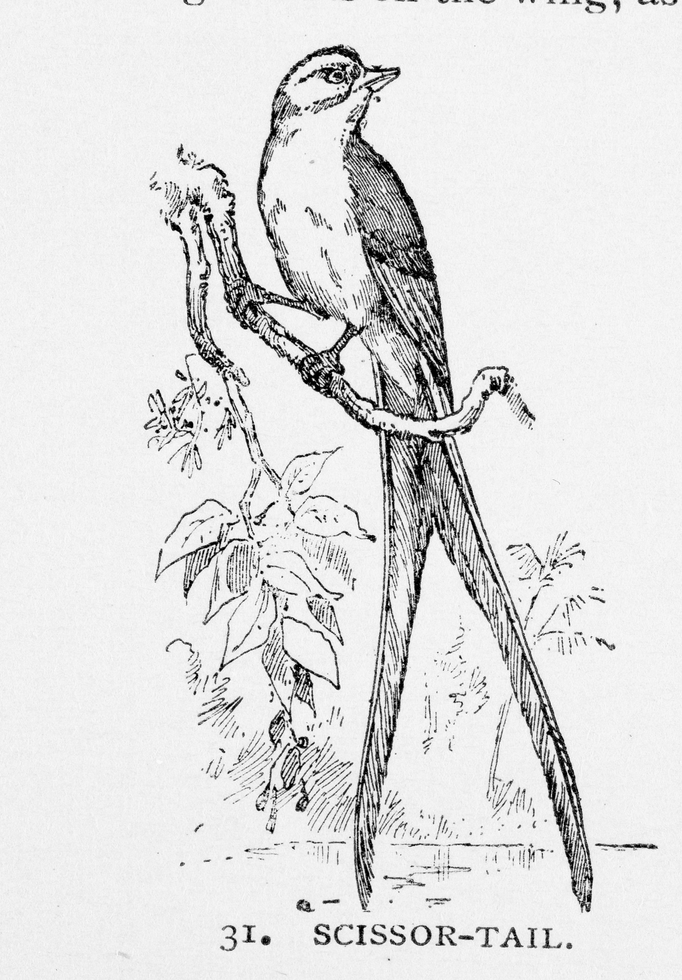"Engraving of Scissor-tail flycatcher, found in North and Central America, from ""A Handbook to the National Museum under the direction of the Smithsonian Institution, Washington."" New York: Brentano Brothers, 1886, p. 33."