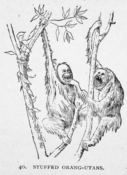 Preview of Engraving of Stuffed Orang-utans