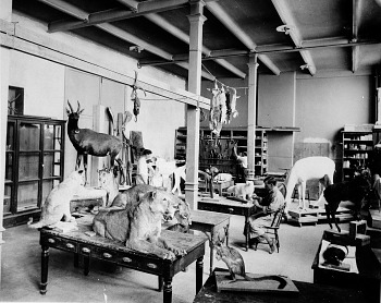 Preview of Taxidermist at Work on Roosevelt Safari Specimens