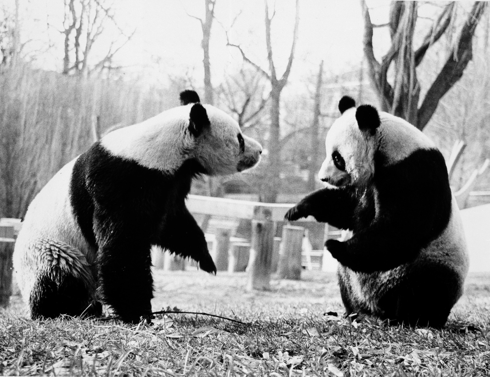 Ling-Ling and Hsing-Hsing at National Zoo