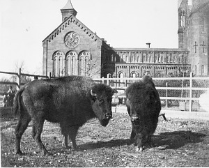Image of Buffalo Behind Smithsonian Institution Building