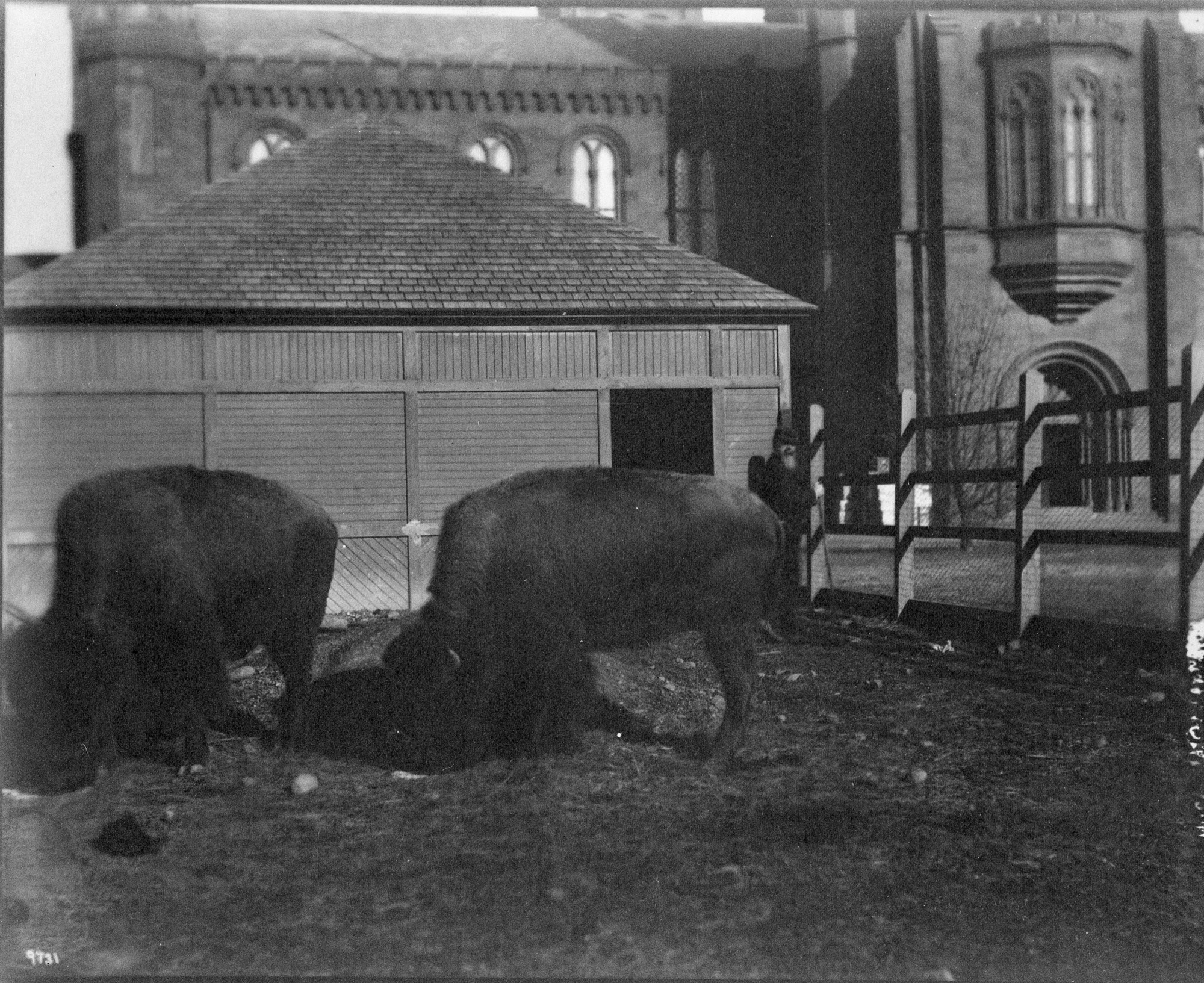 Buffalo Behind Smithsonian Institution Building