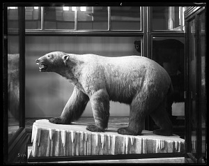 Image of Mounted Model of a Polar Bear