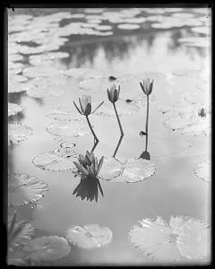 Image of Water Lilies in United States Fish Commission Hatchery Pond