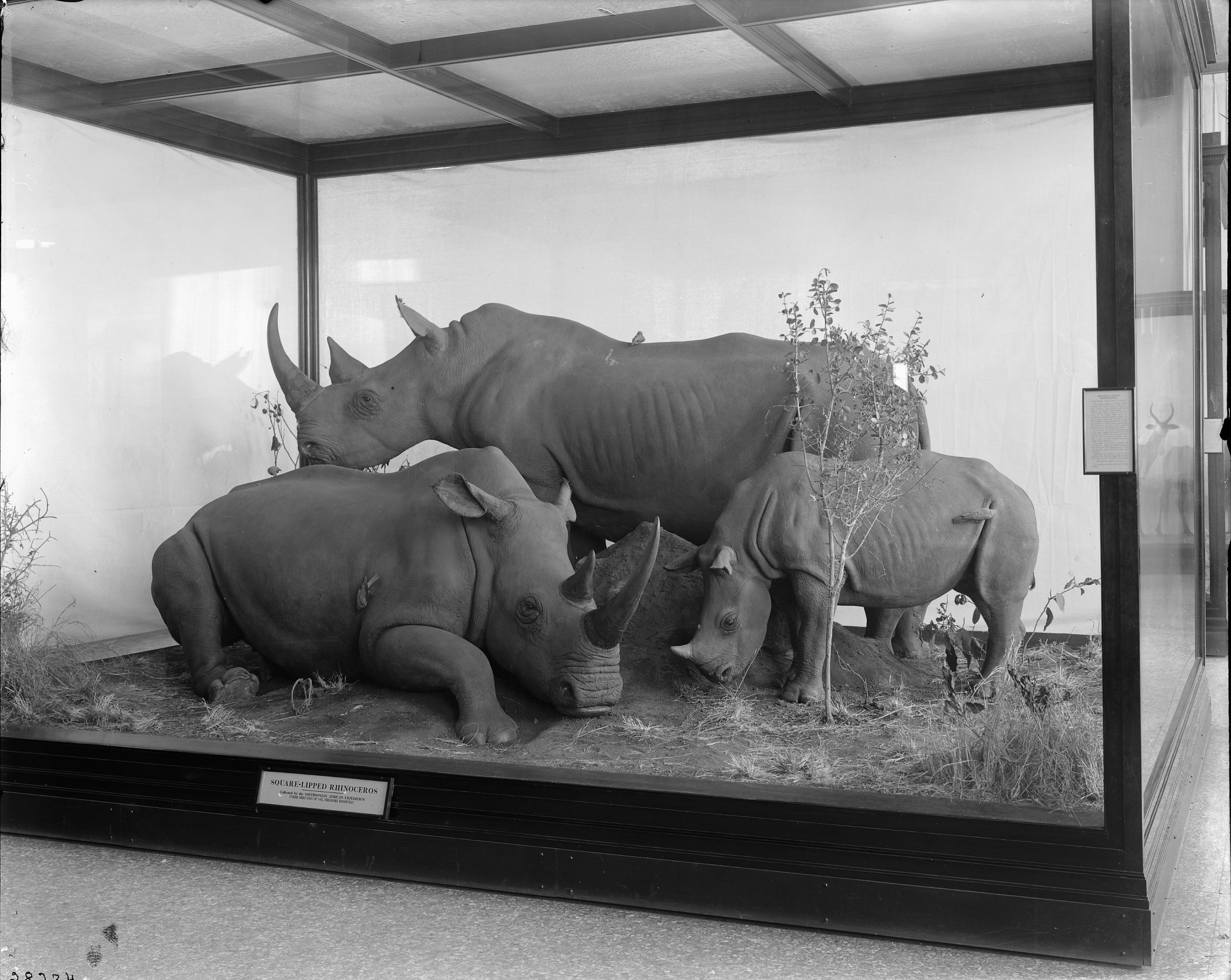 Hall of Mammals, Square-lipped Rhinoceros, USNM