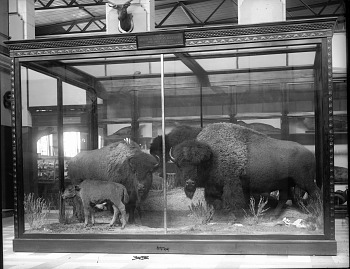 Preview of Bison Exhibit in the U.S. National Museum