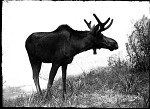 Eastern North American Moose, Male