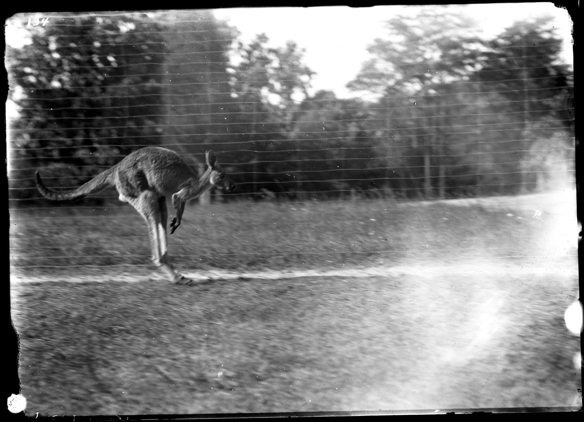 Preview of Eastern Grey Kangaroo