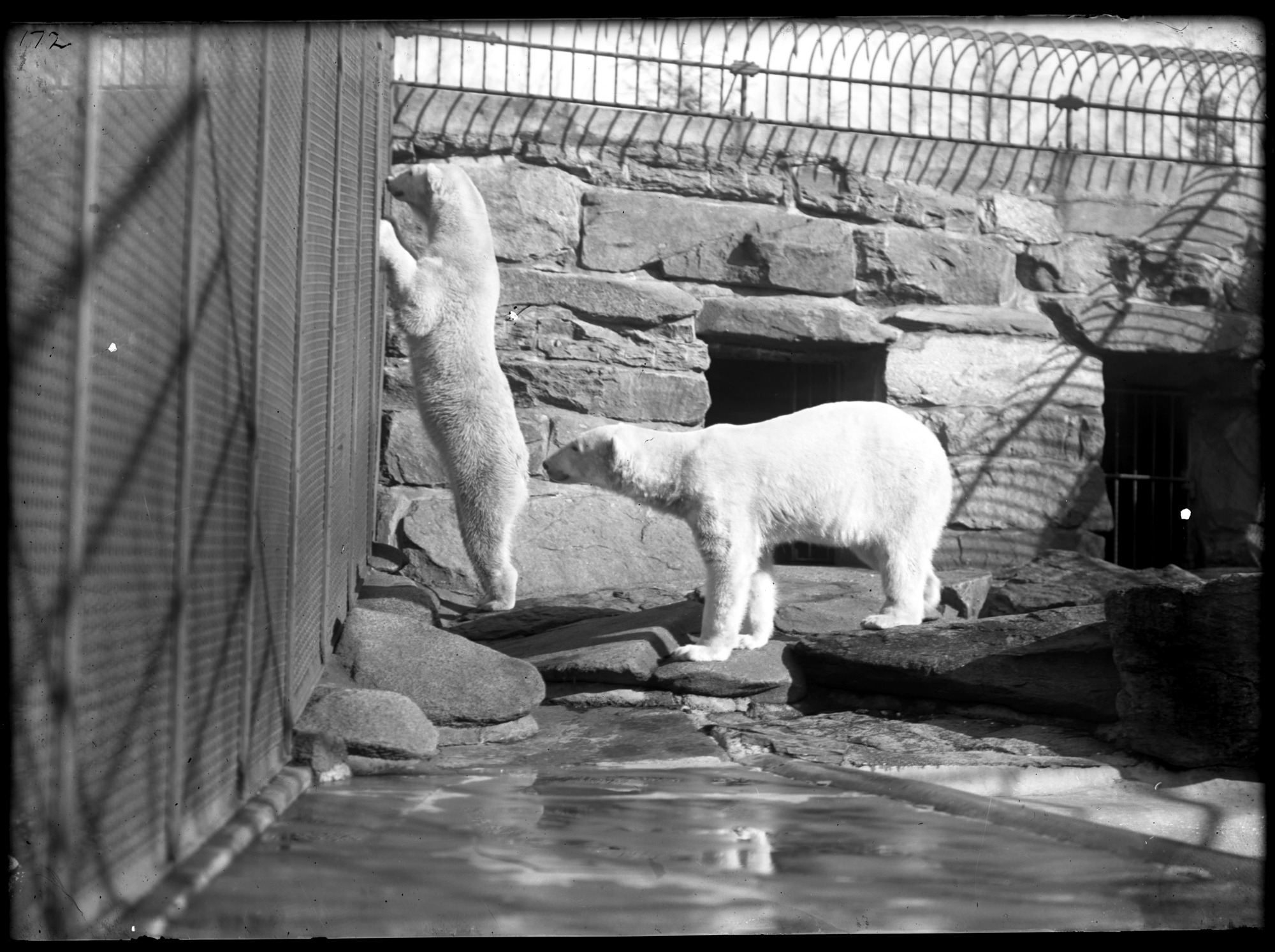 Preview of Polar Bears, Male and Female