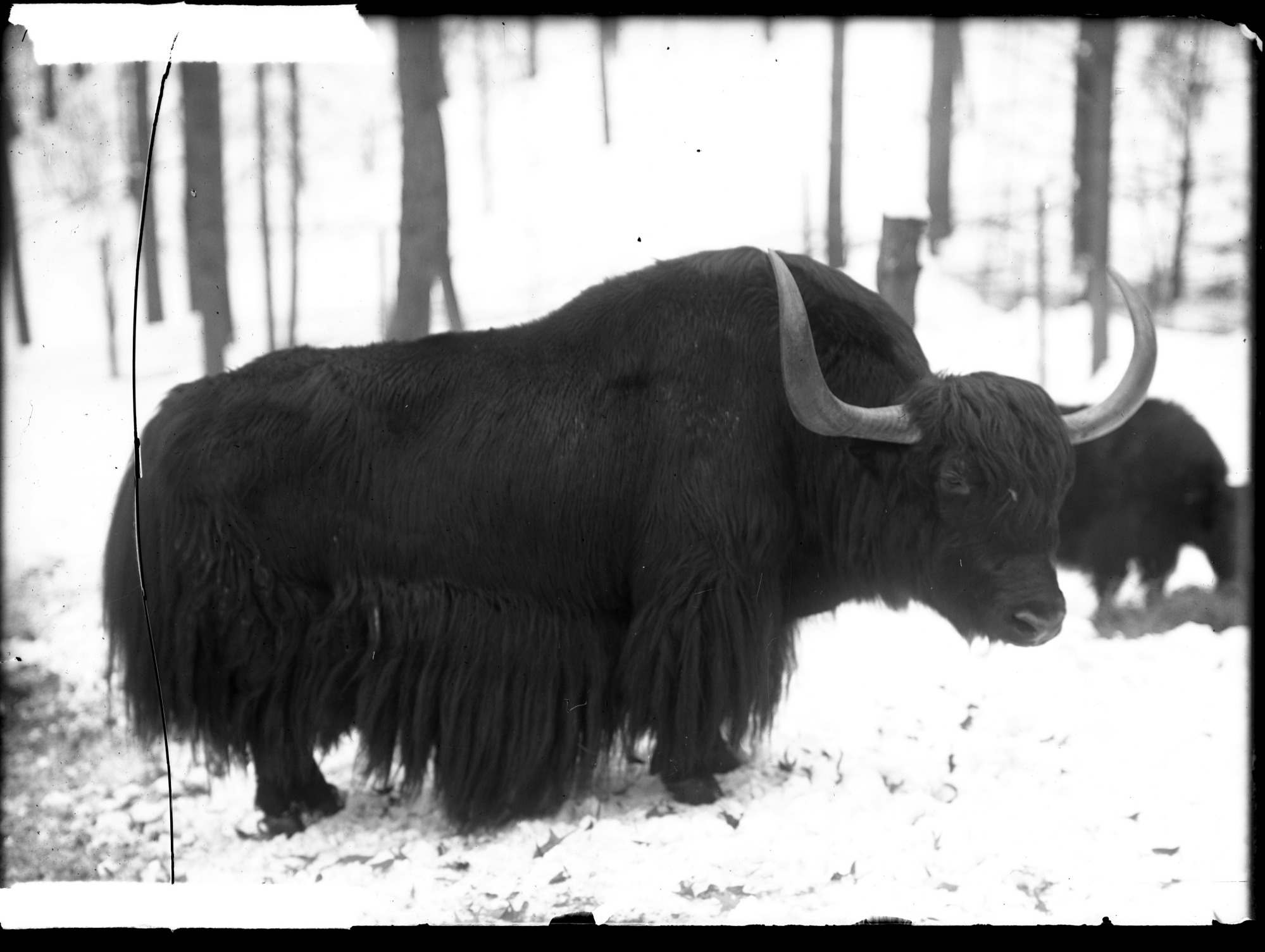 Preview of Domestic Yak, Male