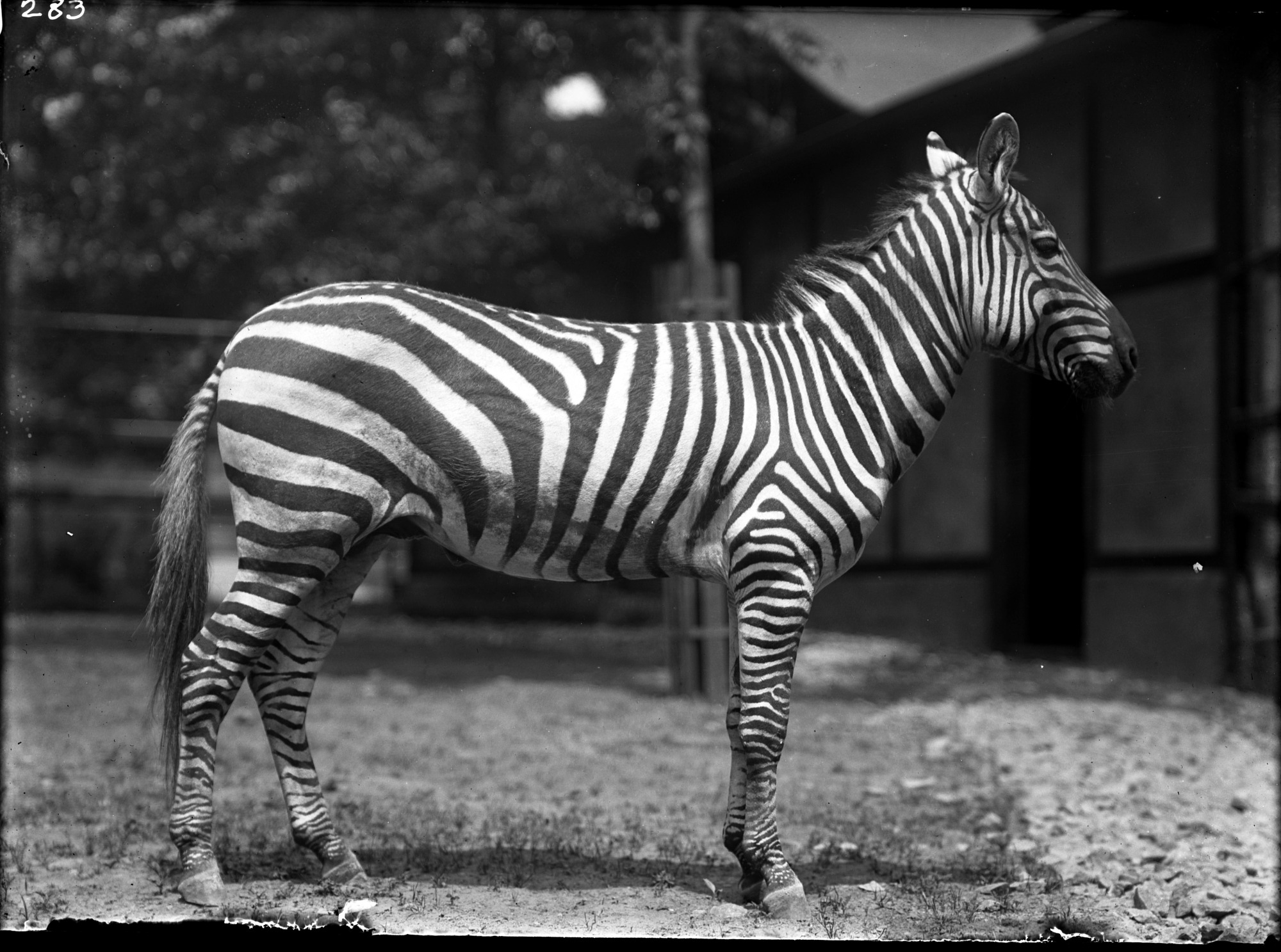 Preview of Grant's Zebra