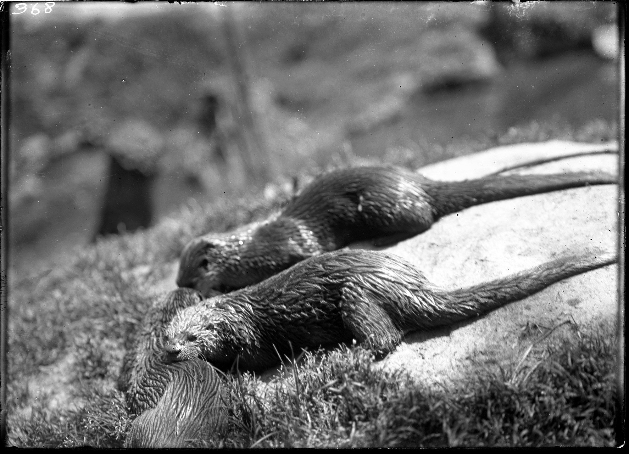 Preview of North American River Otters