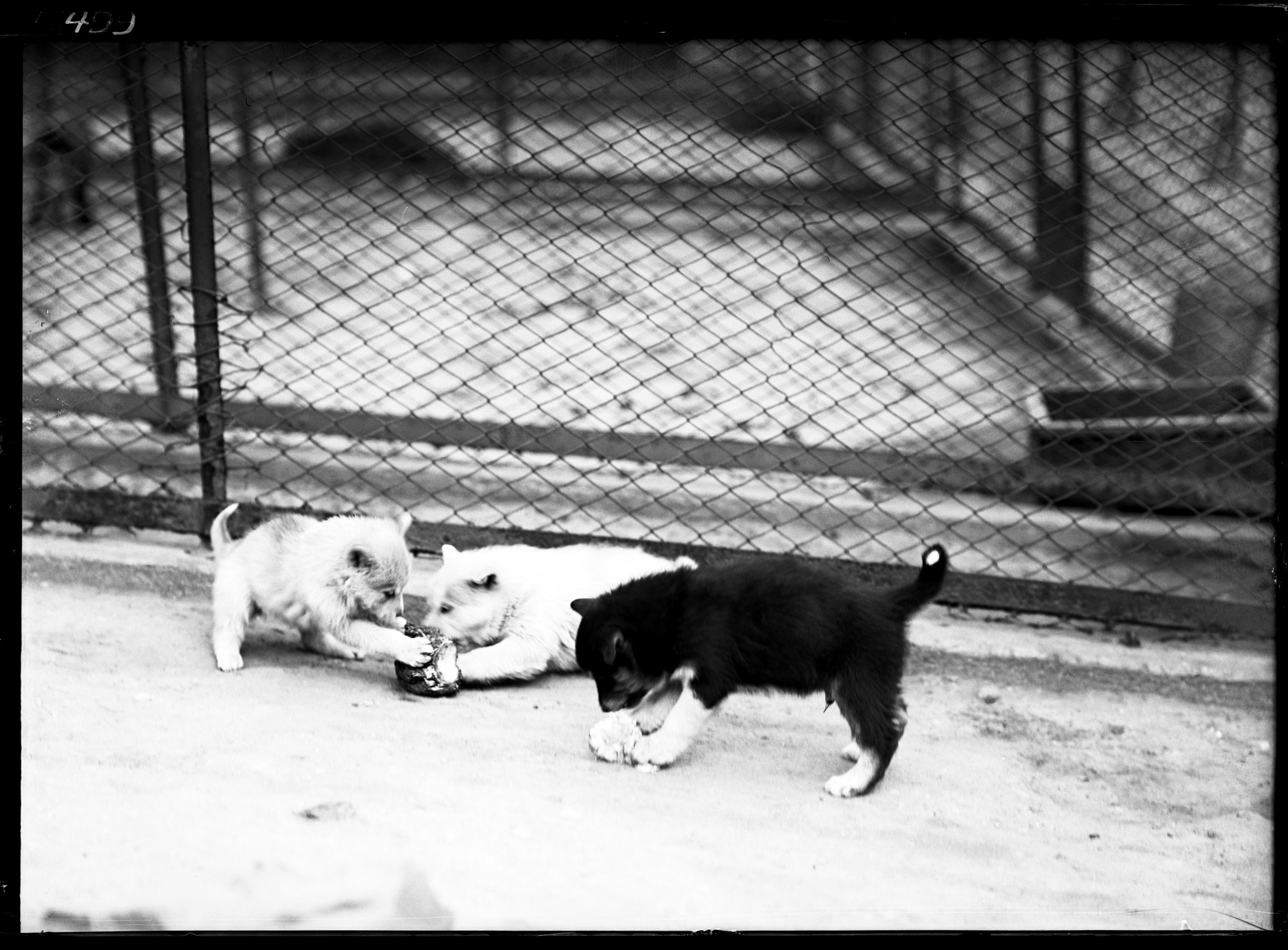 Preview of Eskimo Dog Pups