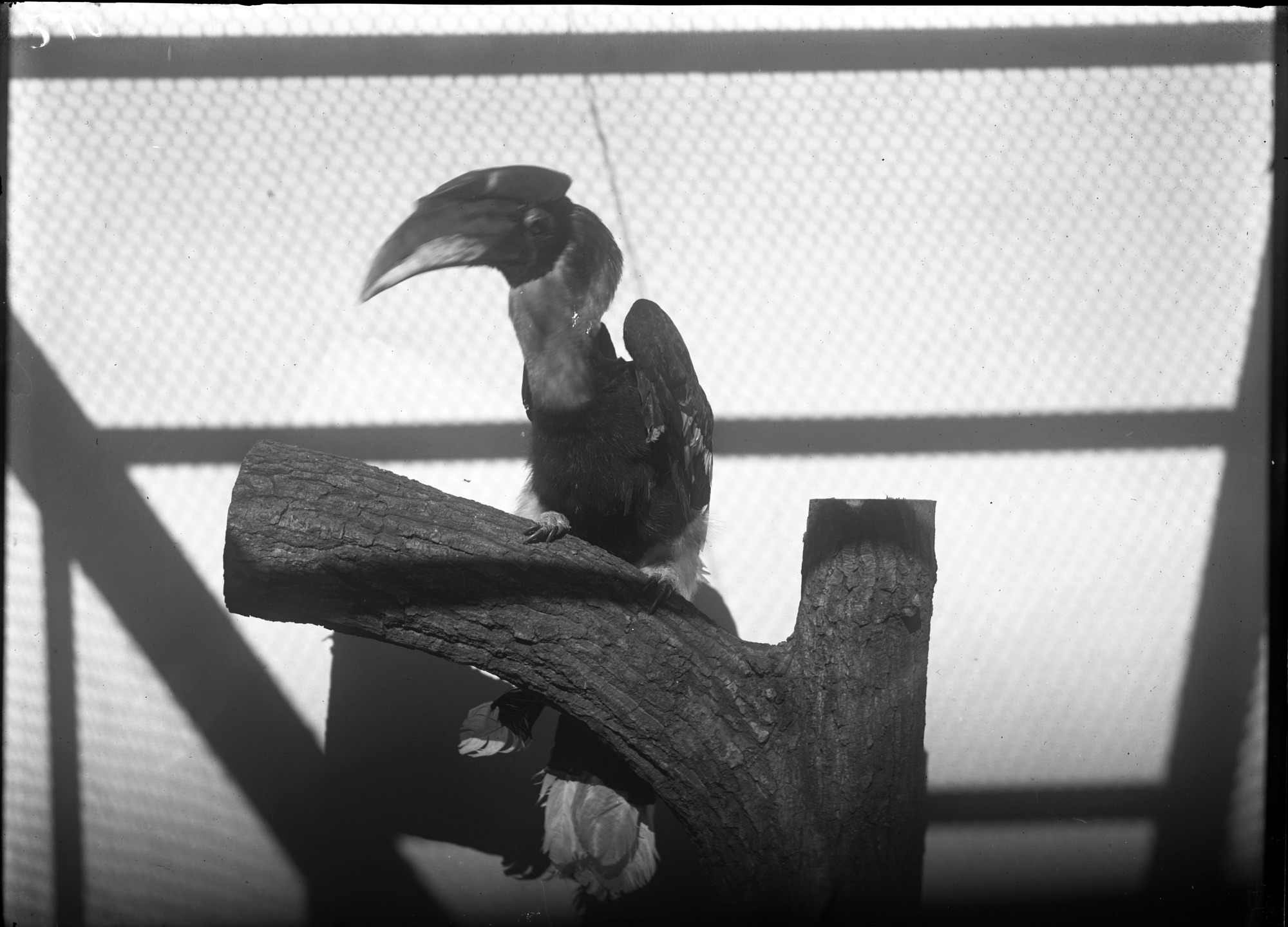 Preview of Great Hornbill