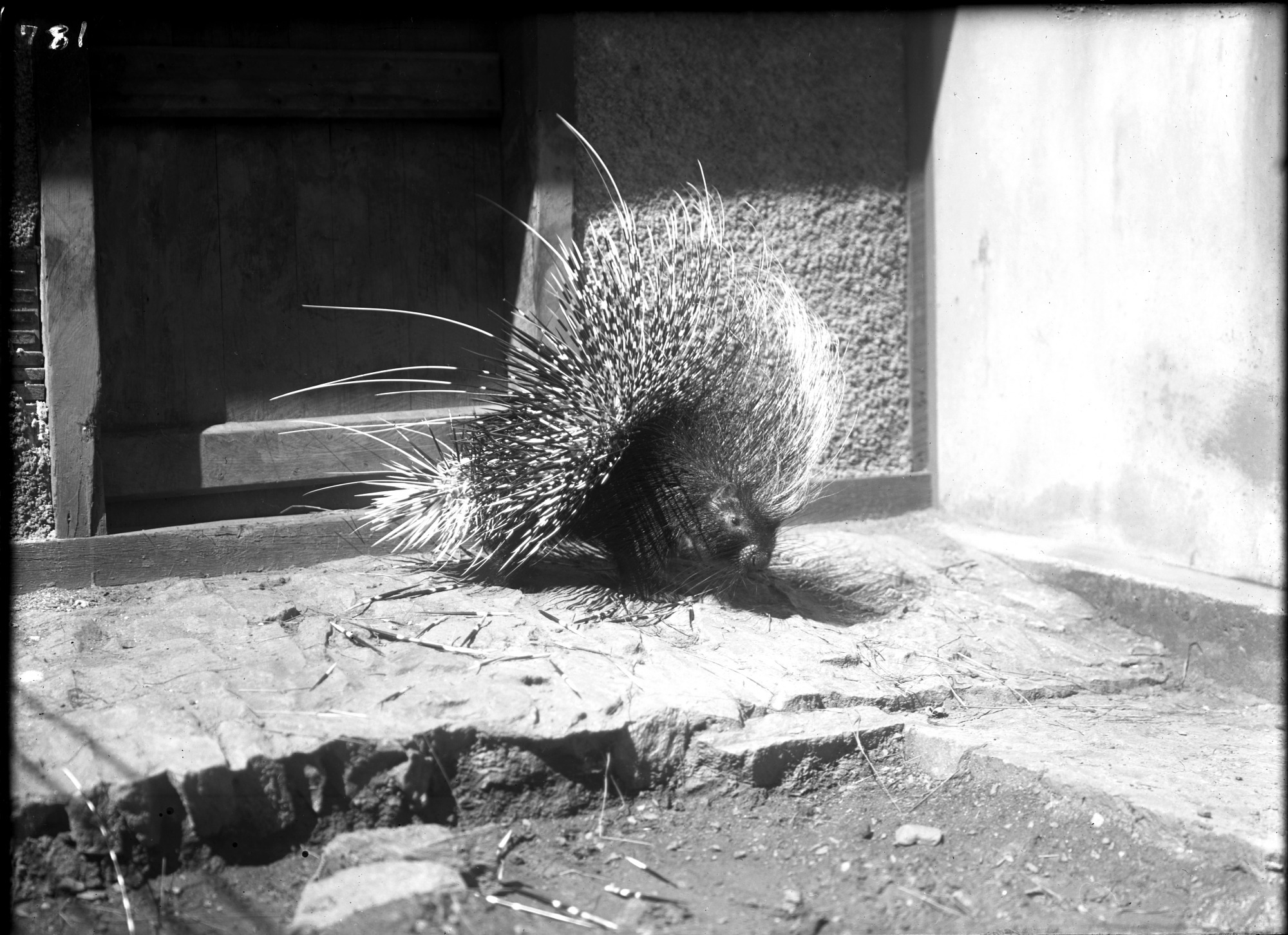 Preview of North African Crested Porcupine