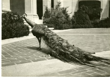 Preview of Peacock in the Courtyard of Freer Gallery of Art