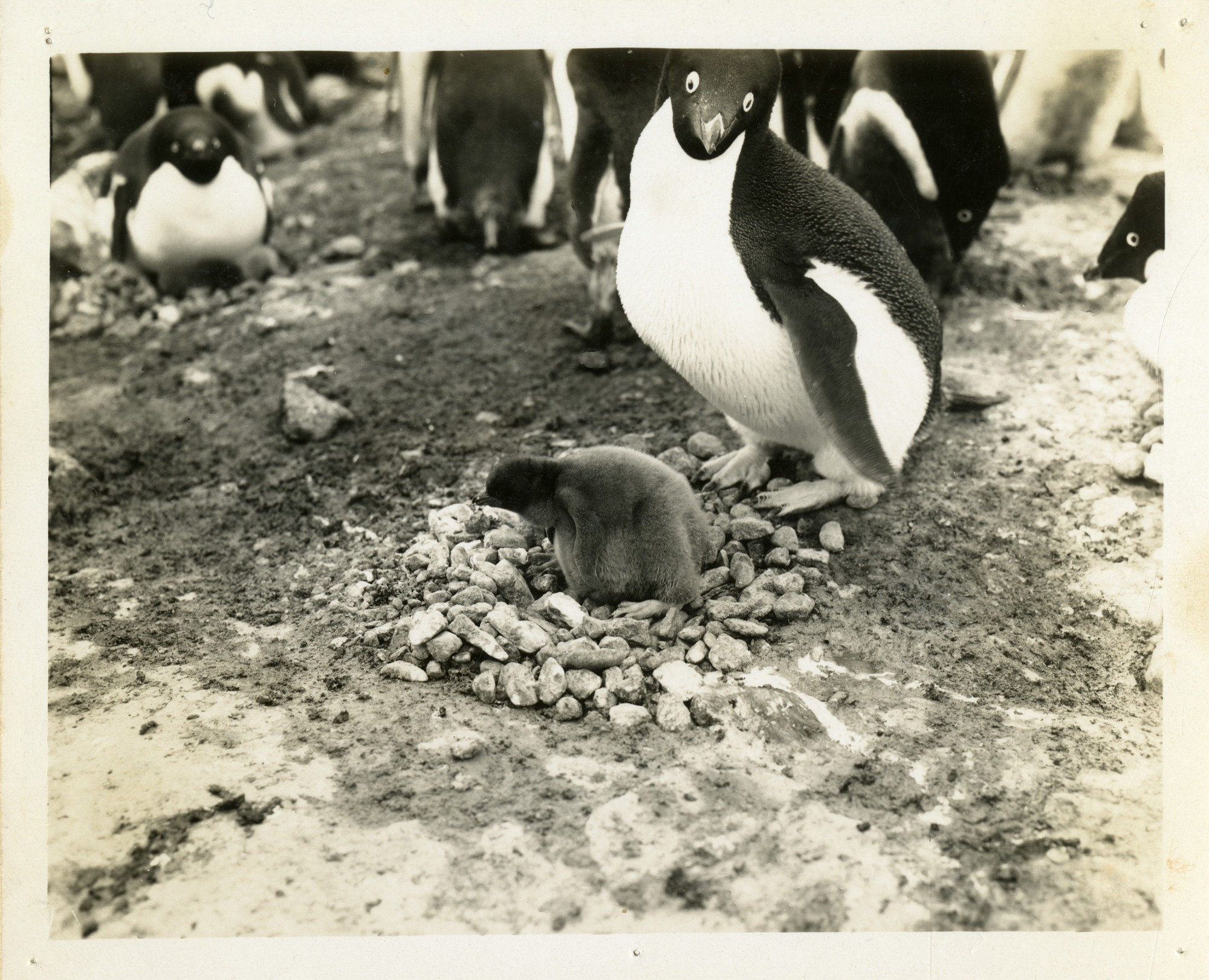 Penguins in Antarctica, by Unknown, 1947-1948, Smithsonian Archives - History Div, SIA2010-065.