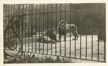 Preview of Views of the National Zoological Park in Washington, DC, showing Lions