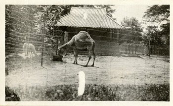 Preview of Views of the National Zoological Park in Washington, DC, showing Camel