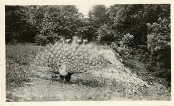Preview of Views of the National Zoological Park in Washington, DC, showing Peacock