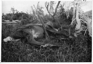Image of Caribou #4