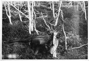 Image of Caribou #1