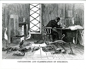 Image of Ornithologist Cataloging Specimens, Natural History Laboratory, in the Smithsonian Institution Building