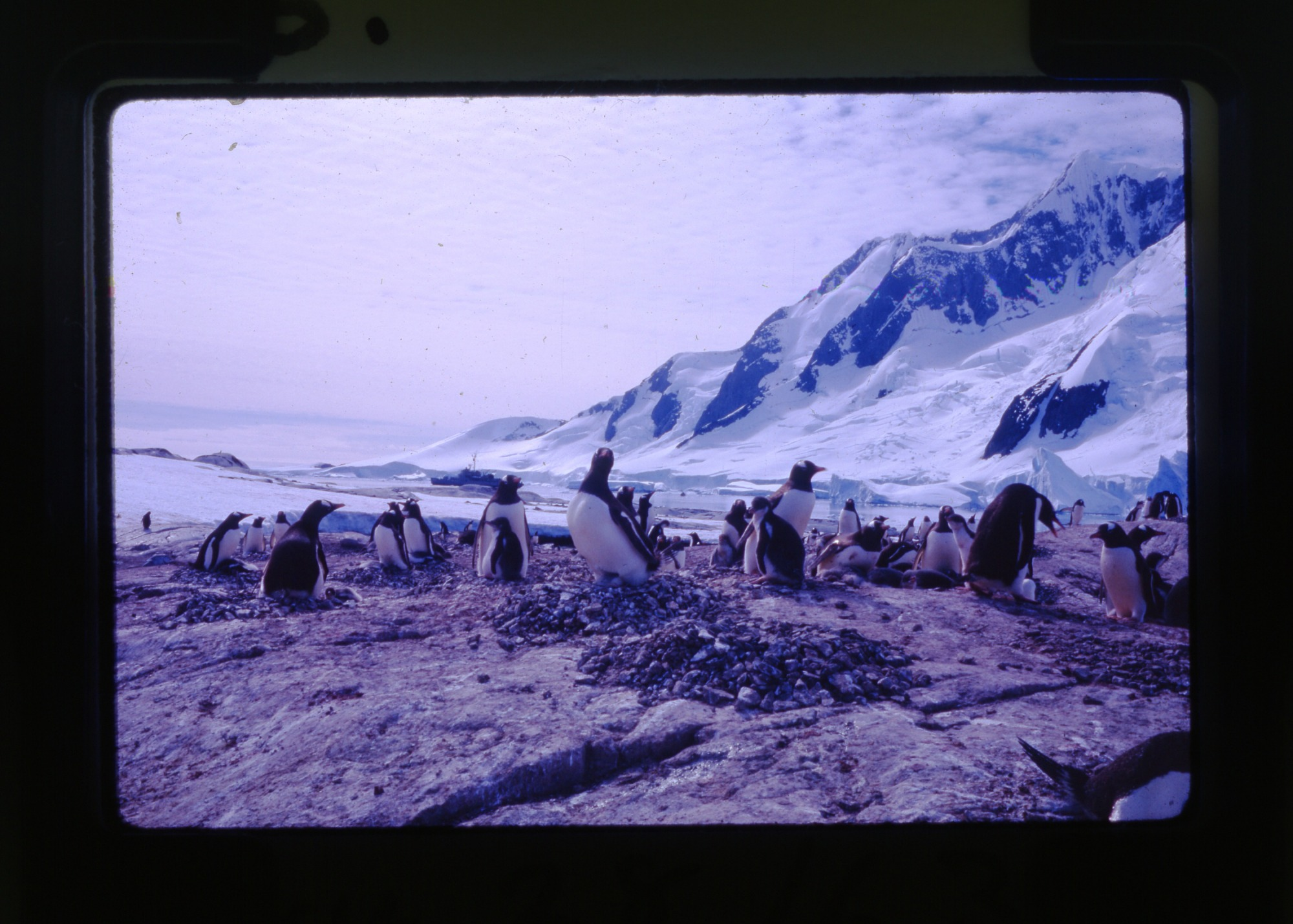 Penguins on the Palmer Peninsula, 10-11am January 28, 1963, Smithsonian Institution Archives, SIA RU007231 [SIA2012-0663].
