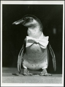 Image of Paulina (penguin) Wearing a Bow Tie